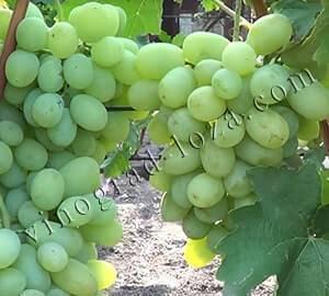 Сорт винограда подарок запорожью: описание, основные характеристики и особенности агротехники