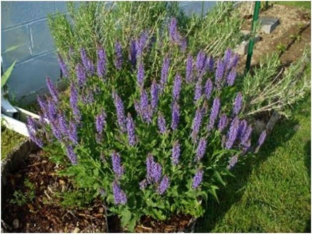 Шалфей: посадка и уход в саду, выращивание и размножение сорта, фото, сочетание в ландшафтном дизайне