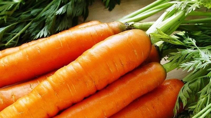 Морковь нантская 4: характеристика и описание сорта, сроки созревания, отзывы дачников об урожайности, когда убирать, фото красных корнеплодов