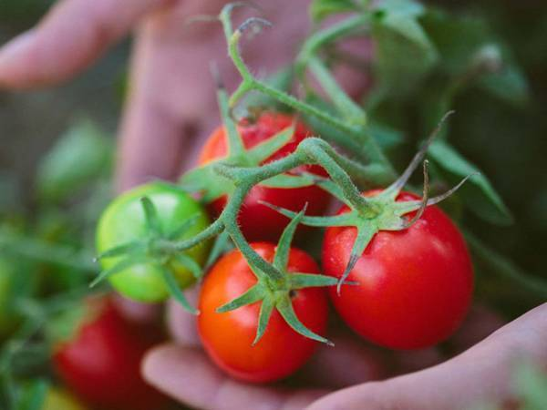 Розовые помидоры для открытого грунта низкорослые | огородовед
