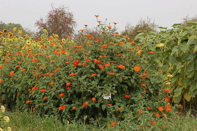 Выращивание петунии из семян в домашних условиях: хитрости посева на рассаду и посадка, также как сажать и вырастить, что делать дальше, когда взошли, как выглядят?