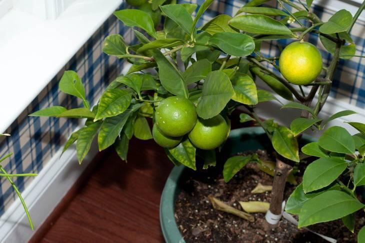 Лайм - описание, польза и вред, калорийность, состав. как выбирать и хранить лайм, рецепты, выращивание дома