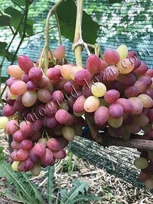 Виноград велес: описание сорта, фото, отзывы, видео