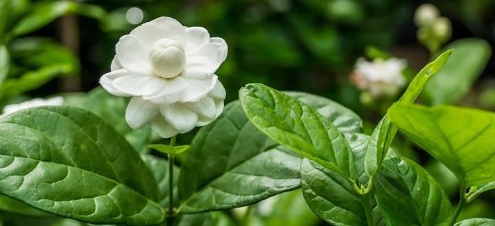 Жасмин самбак: чем отличается от других комнатных растений, особенности ухода   заготовки на зиму