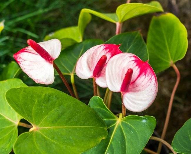 Можно ли заниматься пересадкой антуриума во время цветения? инструкция по проведению процедуры в домашних условиях