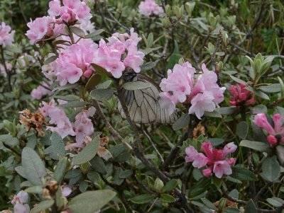 Описание рододендрона гаага: рекомендации по посадке и уходу за растением