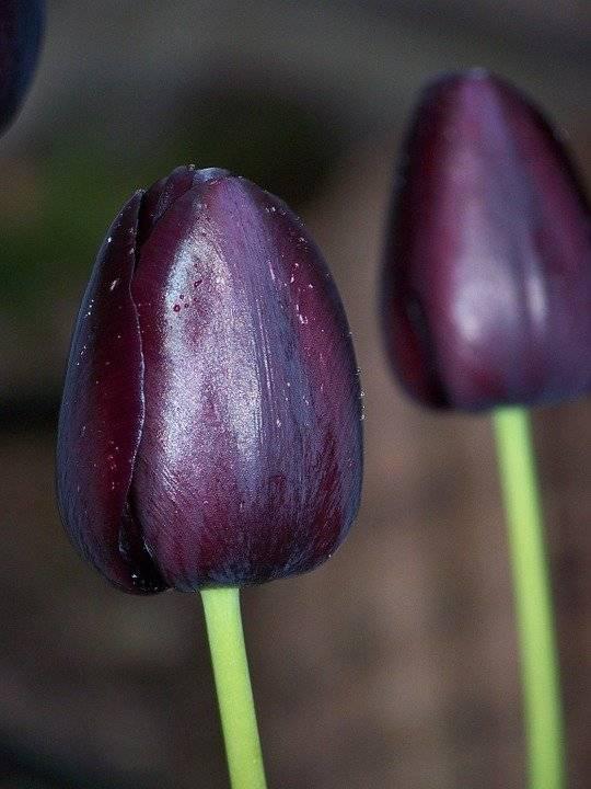 Махровые тюльпаны: описание, сорта и выращивание