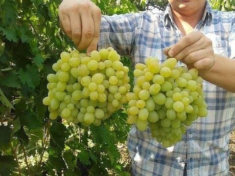 Виноград «подарок запорожью»: особенности и уход