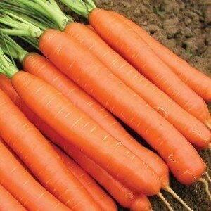 Самые популярные сорта моркови для подмосковья (средней полосы), урала и сибири