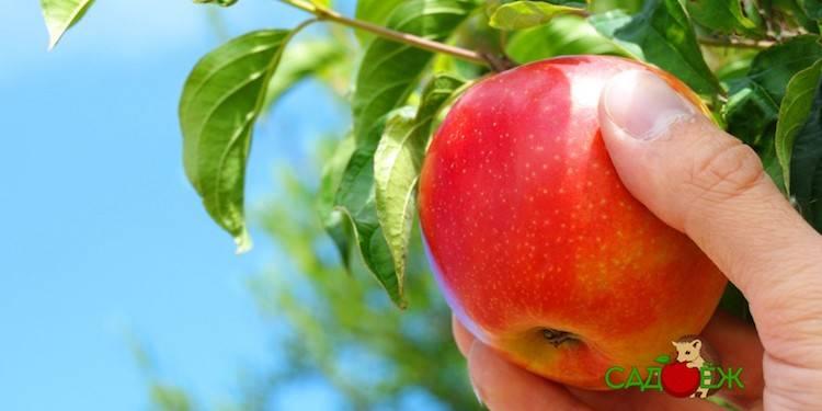 Приспособление для сбора яблок – когда садовод становится инженером