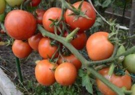 Томат верлиока: описание сорта и 5 правил выращивания