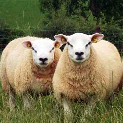 Овцы породы тексель - описание, фото и видео | россельхоз.рф