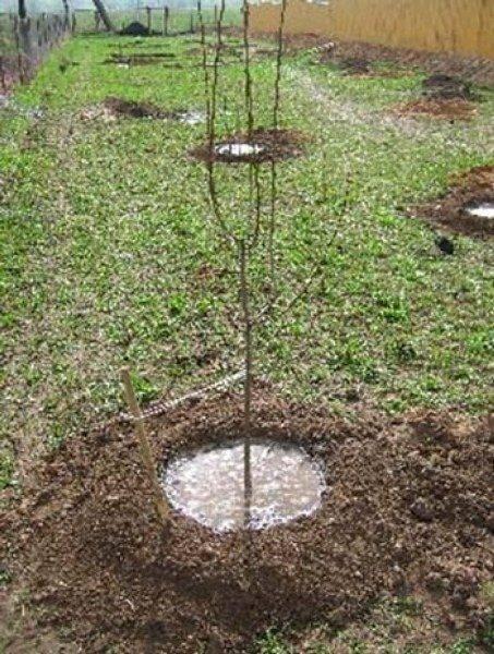 Описание гибрида чудо вишня и его опылители, особенности посадки и ухода