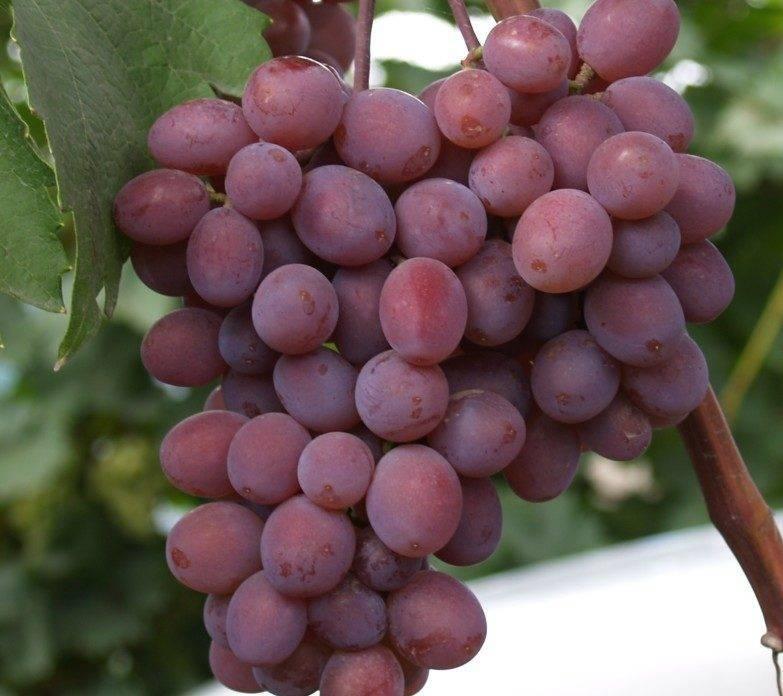 Виноград виктория - описание сорта, отзывы, фото и видео