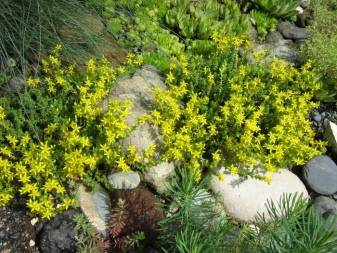 Седум (очиток): выращивание в открытом грунте. садовые виды с и фото. уход