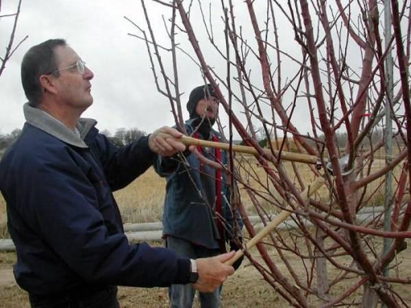 Порядок и схема обрезки вишни осенью для начинающих