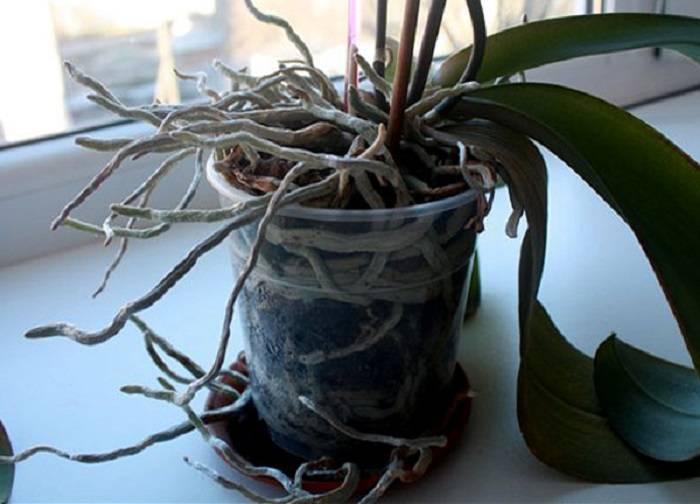 Когда можно пересадить орхидею в домашних условиях: подходящее время и правила пересадки - sadovnikam.ru