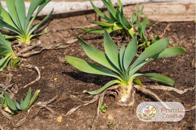 Лук слизун выращивание семена фото уход описание