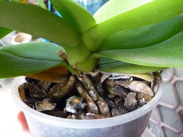 Орхидея вянет: что делать, чтобы спасти цветок с помощью пересадки фаленопсиса или подкормки, в чем причина увядания листьев и почему быстро отцветает