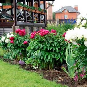 Как правильно сажать пионы весной: основные правила выращивания и ухода