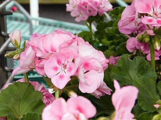 Тюльпановидная пеларгония (герань): лучшие сорта на фото и описание ухода