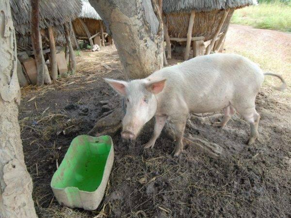 Вирус африканской чумы свиней: опасна ли инфекция?
