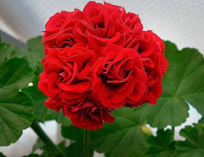 """Роза """"лидия"""": фото и описание, посадка и уход"""