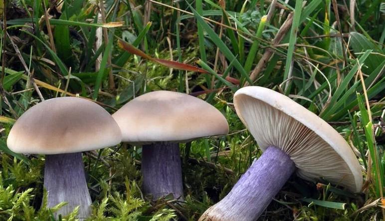 Гриб «синяя ножка»: фото, описание, где и как он растет? как отличить синеножку от ядовитых грибов? съедобна ли она?
