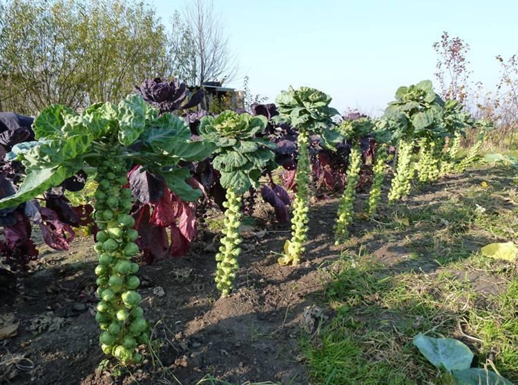 Брюссельская капуста - посев, выращивание, уход, полив, сбор урожая