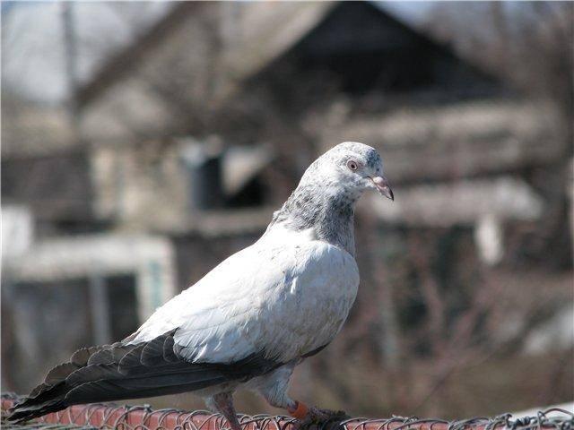 Пакистанские бойные голуби — отличные летуны