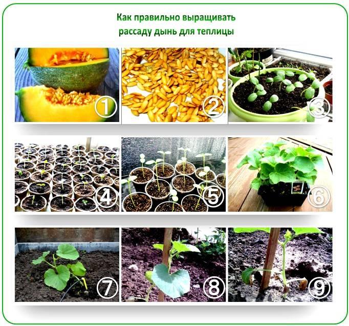 О том как вырастить арбуз в теплице из поликарбоната, посадка и уход, формирование куста