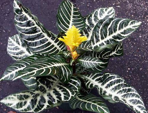 Афеландра (aphelandra). описание, виды и уход за афеландрой