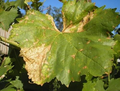 Причины пожелтения листьев винограда