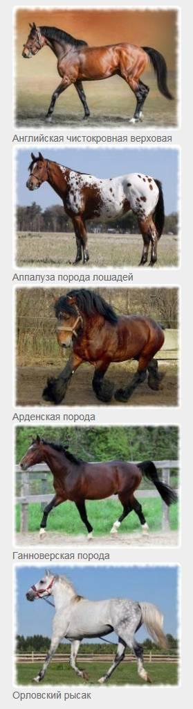 Арденская лошадь: описание, история, характер и интересные факты о крупной и нежной породе