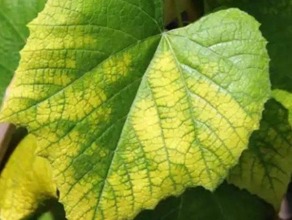 Желтеют листья винограда: что делать и чем лечить в июне и августе