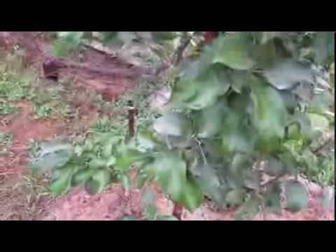 Грибок на яблоне, как бороться, как лечить, как избавиться?