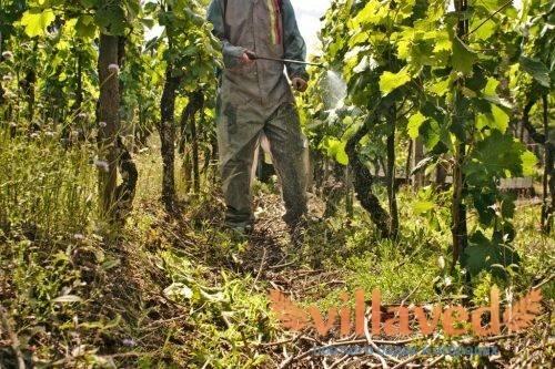 Осенняя обработка винограда от вредителей и болезней перед зимовкой