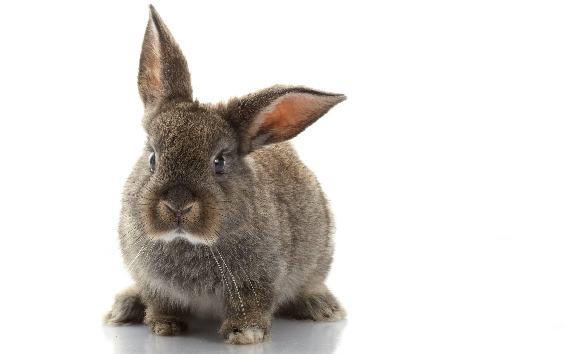 Как вылечить кокцидиоз у кроликов