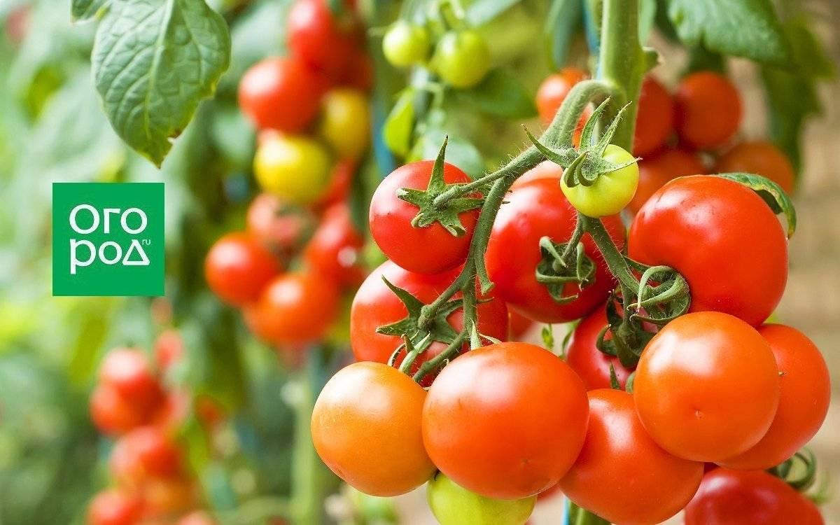 Как и чем подкормить помидоры?