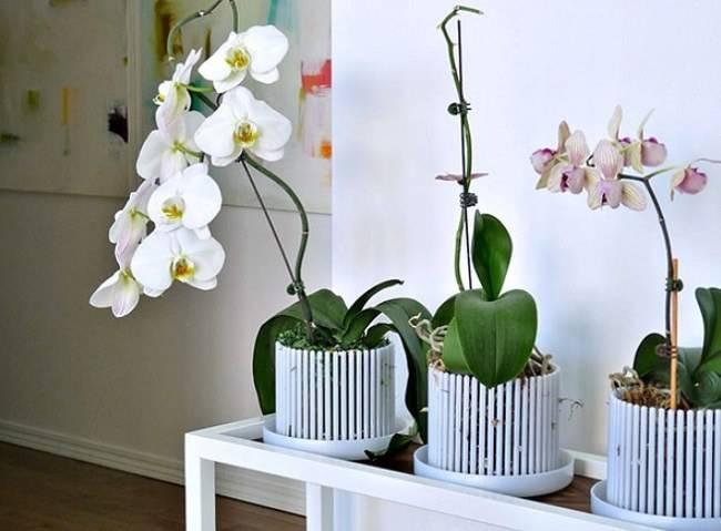 Как выбрать горшок для орхидеи фаленопсис: в какие горшки сажать растение
