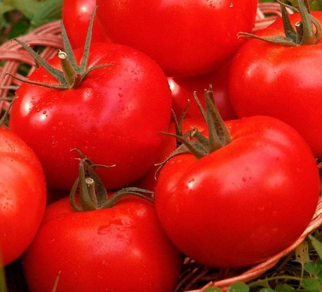 Помидоры которые не болеют фитофторой:  7 проверенных сортов томатов устойчивые к фитофторе.