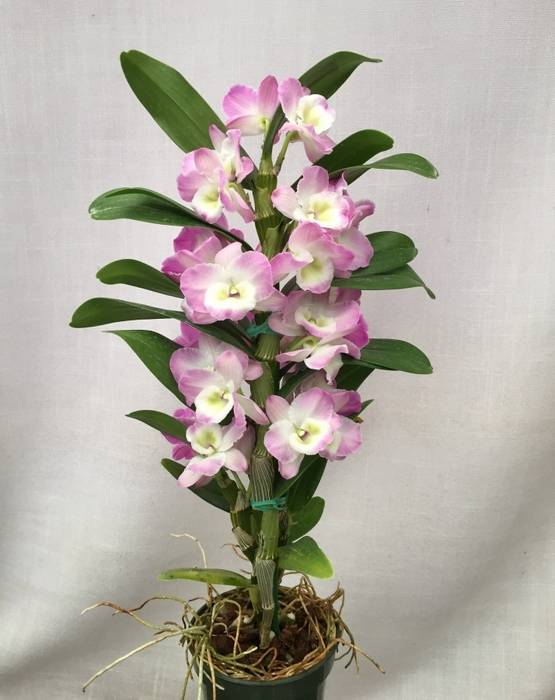 Орхидея дендробиум нобиле: уход в домашних условиях