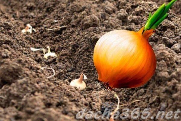 Посадка лука весной на головку: подготовка, уход и сбор урожая