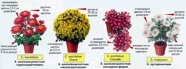 Как вырастить крепкие кустовые хризантемы