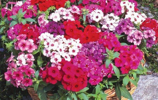 Флокс «Друммонда»: выращивание из семян, посадка и уход + фото
