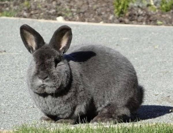 Венский голубой кролик: фото, описание, характеристика