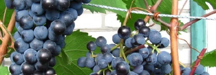 Северный виноград - посадка и уход | сайт о саде, даче и комнатных растениях.