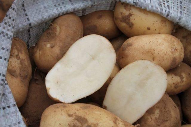 Передовой сорт с рекордной урожайностью — картофель лада f1: описание гибрида и отзывы