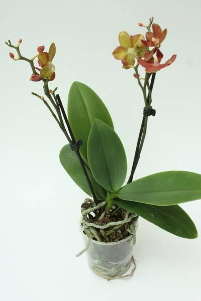 Сроки, когда поливать орхидею после пересадки