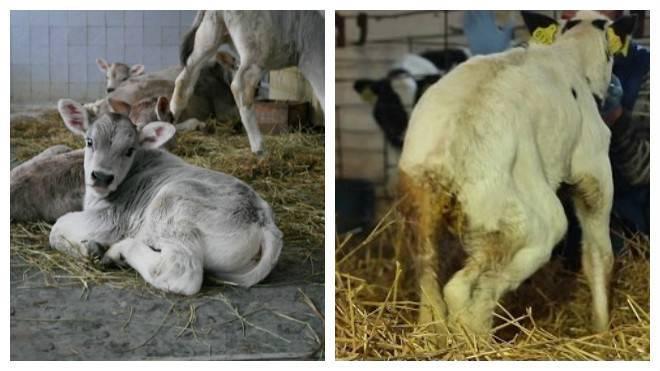 У коровы понос что делать в домашних условиях   tsitologiya.su